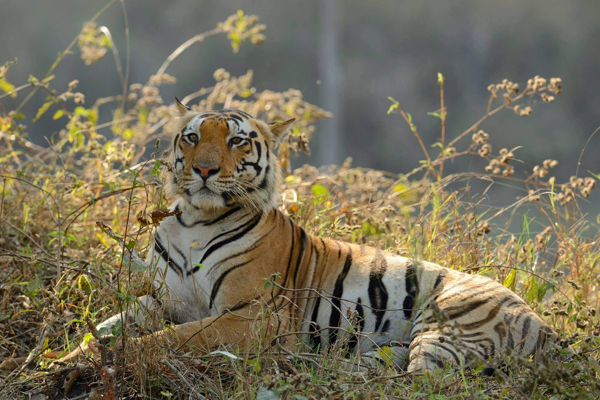 royal bengal tiger | endangered tiger conservation | habitat | facts