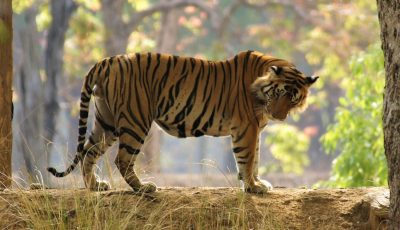 Central and West India Tiger Safari Tour Packages