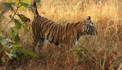 Royal Bengal Tiger - An Endangered Animal in India