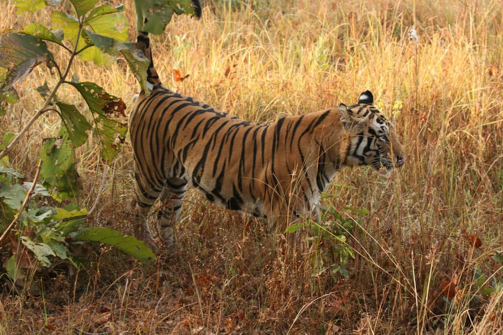 amazing facts about bengal tigers onekindplanet animal - 1024×683