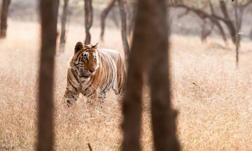 Golden Triangle tour with Ranthambore Tiger Safari