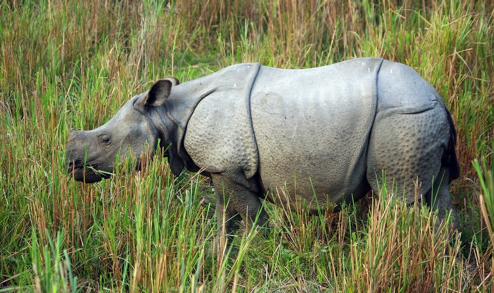 javan rhino facts range habitat diet population pictures - 1015×603