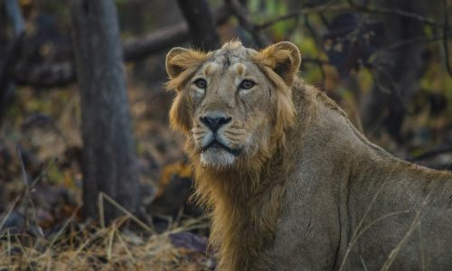 taj mahal and lion safari in India tour