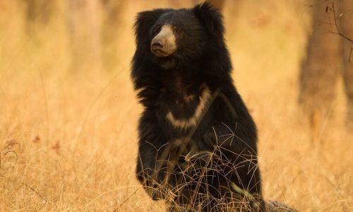 Experience wide variety of wildlife on this Kanha Bandhavgarh Pench tour and Satpura National Park safari
