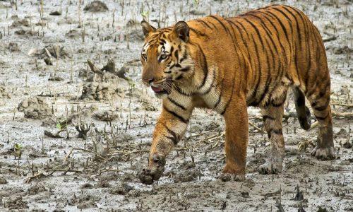 Sunderban Tigers and Kaziranga National Park Safari