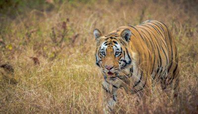 Jungle Safari in Maharashtra tour program for Tadoba Pench and Satpura National Park