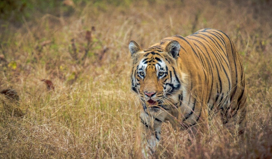 Jungle Safari in Maharashtra tour program for Tadoba Pench and Satpura National Park