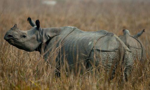 Indian Big 5 Safari